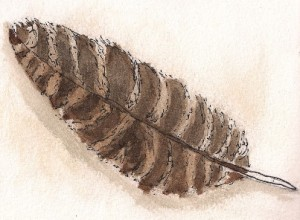red tailed hawk feather