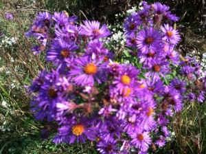 aster beauty